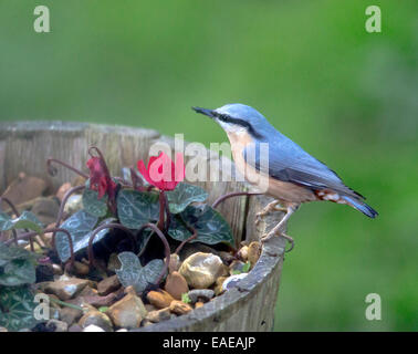 Nuthatch Sitta europaea hiding sunflower seeds in tub containing cyclamen november oxfordshire - Stock Photo