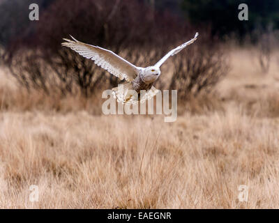 Snowy Owl [Bubo scandiacus] full flight with wings extended and marshland backdrop. - Stock Photo