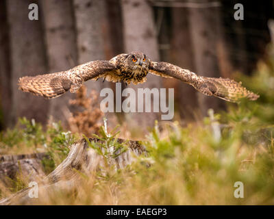 Western Siberian Eagle Owl [Bubo Bubo Sibericus] in full flight with wings extended in a forest setting. - Stock Photo
