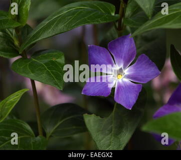 Close up on bigleaf or large or greater or blue periwinkle, vinca major - Stock Photo