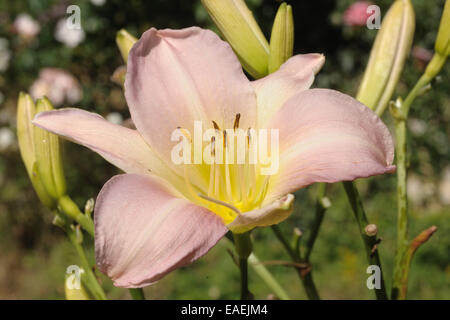 A daylily flower, Hemerocallis 'Luxury Lace', in a herbaceous garden flower border - Stock Photo