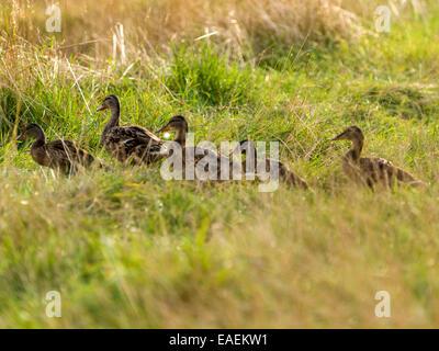 A small group of fledgling mallard [Anas platyrhynchos] make their way across open scrub land - Stock Photo