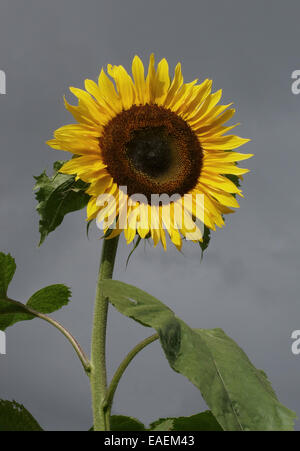 A tall ornamental sunflower in a garden with a grey sky behind - Stock Photo