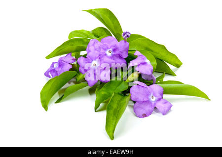 flowers and leaves of the yesterday today and tomorrow plant - Stock Photo