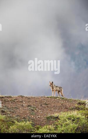 Gray wolf on a mountain ridge in Denali National Park, Alaska. - Stock Photo