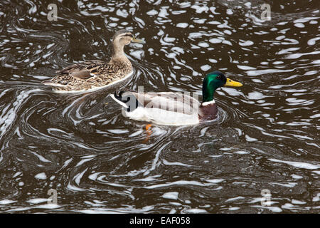 Mallard duck in the foaming river, polluted river - Stock Photo
