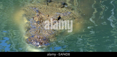 GOLD COAST, AUS - NOV 04 2014:Head of a male Australian Salt water crocodile appear above the water.It's the largest - Stock Photo