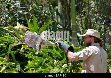 GOLD COAST, AUS - NOV 04 2014:Unidentified trainer training an Australian masked owl in Currumbin Wildlife Sanctuary. - Stock Photo