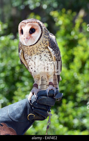Australian masked owl sit on a glove of a in Gold Coast Queensland Australia. - Stock Photo