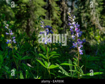 Lupines (exact species unknown) growing near the Cascade Crest in Oregon - Stock Photo
