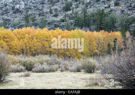 grove of golden aspen trees with bright yellow leaves surrounded by more drab plants - Stock Photo