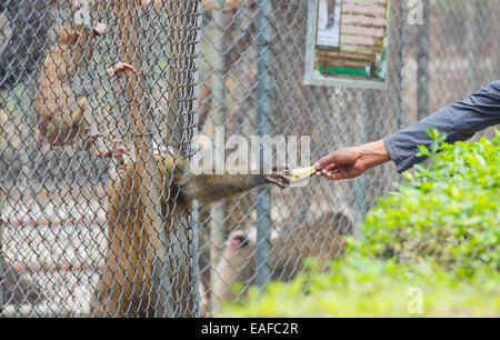 man giving banana to monkey in its cage in Thai zoo - Stock Photo