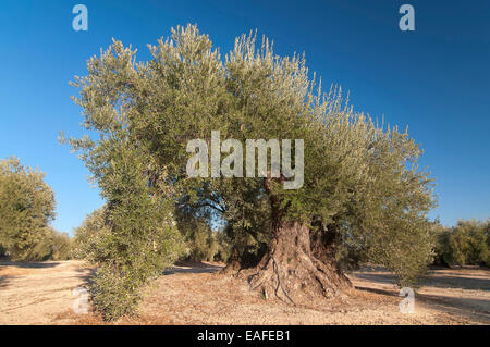 300 year old olive tree, Martos, Jaen province, Region of Andalusia, Spain, Europe - Stock Photo