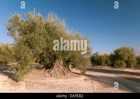 300 year old olive trees, Martos, Jaen province, Region of Andalusia, Spain, Europe - Stock Photo