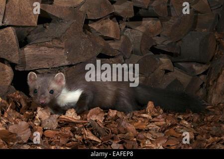 beech marten, martes foina, germany, europe - Stock Photo