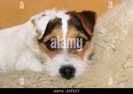 tired Parson Russell Terrier on sheepskin - Stock Photo