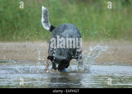 Australian Cattle Dog running through water - Stock Photo