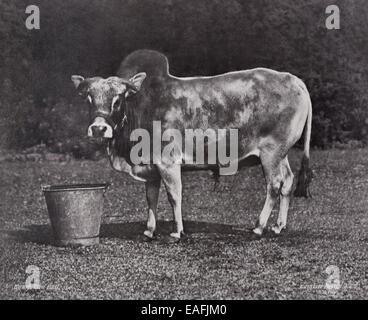 Dwarf Zebu Bull by Gambier Bolton - Stock Photo