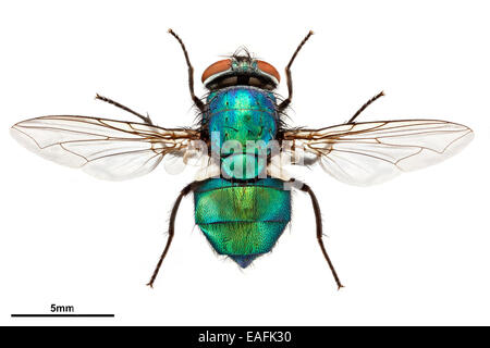 Common green bottle fly, Lucilia sericata - Stock Photo