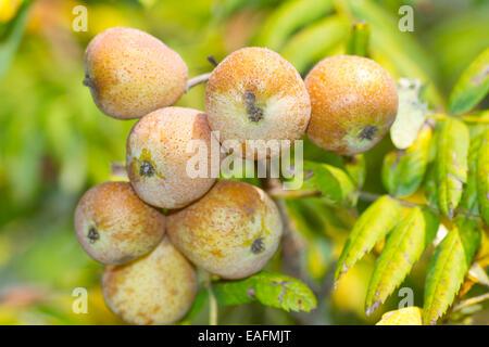 True Service Tree Sorbus domestica fruit tree Germany - Stock Photo
