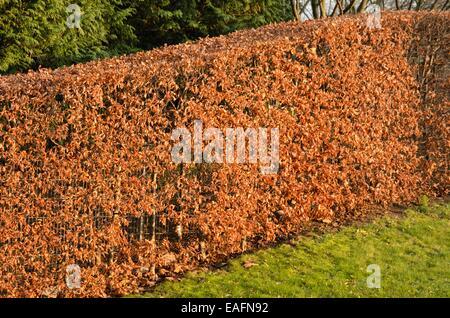 Common beech (Fagus sylvatica) - Stock Photo