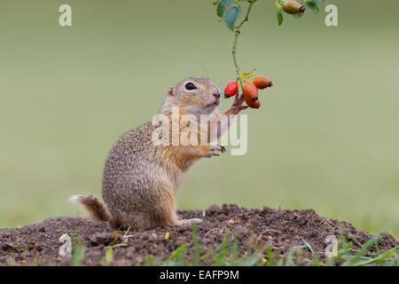 European Ground Squirrel European Suslik European Souslik Citellus citellus Austria - Stock Photo