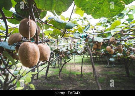Kiwi plant close up. Day light - Stock Photo