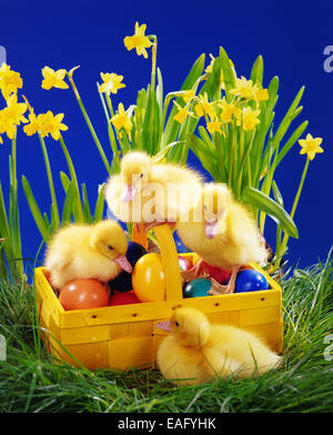 Four ducks chicks in a basket with easter decoration - Stock Photo