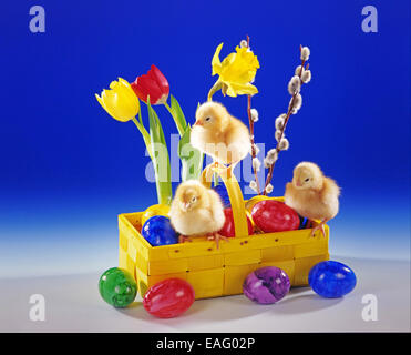 Three Chicken chicks sit in a basket with Easter decoration - Stock Photo