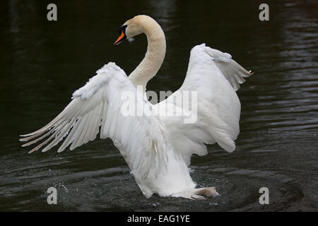 male mute swan stretching his wings - Stock Photo