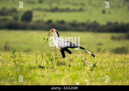 Secretarybird or secretary bird (Sagittarius serpentarius) in the savannah of Kenya, Africa - Stock Photo