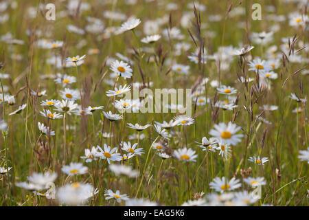 Ox-eye daisies / oxeye daisy (Leucanthemum vulgare / Chrysanthemum leucanthemum) in flower in meadow - Stock Photo