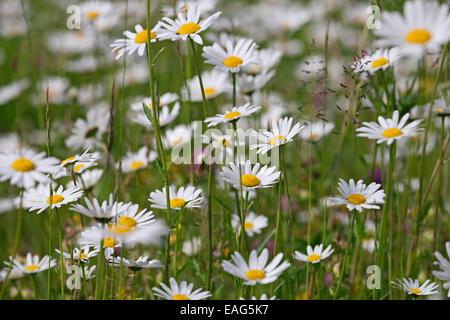 Ox eye daisies / oxeye daisy (Leucanthemum vulgare / Chrysanthemum leucanthemum) in flower in meadow - Stock Photo