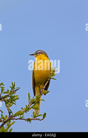 Western yellow wagtail (Motacilla flava), male perched on twig in spring - Stock Photo