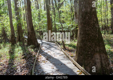 The boardwalk loop winds through bald cypress trees at Congaree National Park, the largest intact expanse of old - Stock Photo
