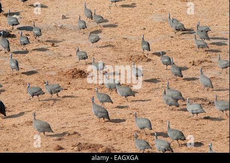 helmeted guineafowl flock running fast away speed - Stock Photo