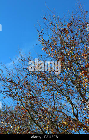 Aberystwyth, Wales, UK. 15th November, 2014. Blue sky, the last autumn beech leaves and still conditions combine - Stock Photo