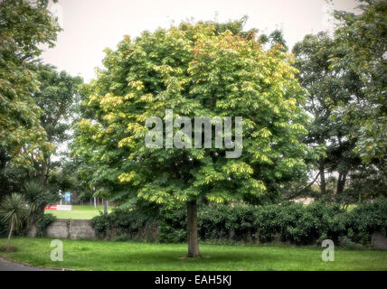 Horse chestnut tree in full glory just before autumn / fall - Stock Photo