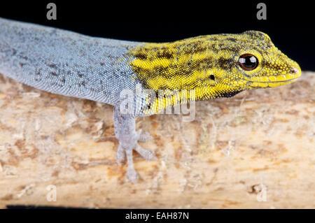 Yellow-headed dwarf gecko / Lygodactylus luteopicturatus - Stock Photo