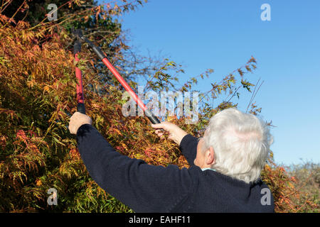 Senior woman gardening using loppers to cut back a garden bush in autumn, a household activity. England, UK, Britain. - Stock Photo