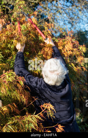 Senior woman using loppers and reaching up to cut back a garden shrub in autumn. UK, Britain - Stock Photo