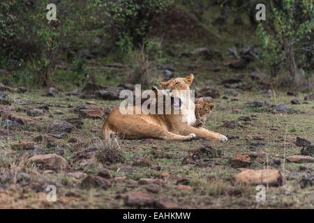 Mother Lioness with cubs playing - Stock Photo