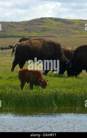 A bison calf drinks from a wetland pond and bison sparing on the Great Plains of Montana at American Prairie Reserve, - Stock Photo