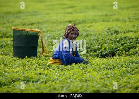 KENYA Kericho, worker pick tea leaves for Lipton tea, tea plantation of Unilever - Stock Photo