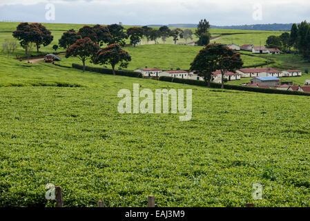 KENYA Kericho, worker pick tea leaves for Lipton tea, tea plantation of Unilever, houses for the tea worker - Stock Photo