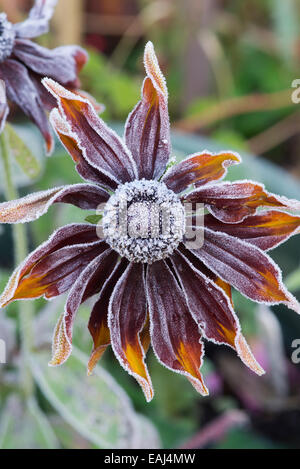 Rudbeckia 'chocolate orange' covered in an autumn frost - Stock Photo