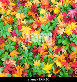 Japanese maple leaves Acer palmatum create a yellow orange and red pattern atop bright evergreen Japanese Pachysandra - Stock Photo