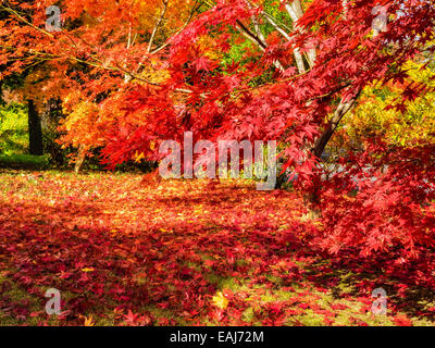 Colorful gold yellow orange and red Japanese maple trees with fall leaves on tree (Acer palmatum) and scattered - Stock Photo