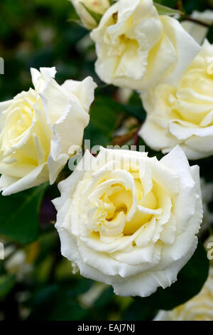 Rosa pauls lemon pillar rose flower white climbing hybrid tea shrub rosa pauls lemon pillar rose flower white climbing hybrid tea shrub shrubs flowering flowers fragrant scented mightylinksfo