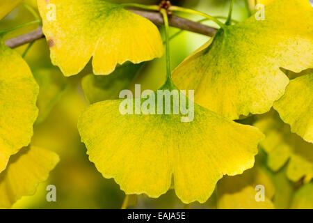 Close up of the yellow autumn foliage of Ginkgo biloba, the maidenhair tree. - Stock Photo